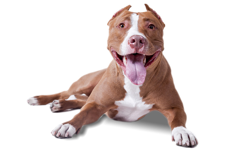 Pit Bull gifts - Top Pet Gifts