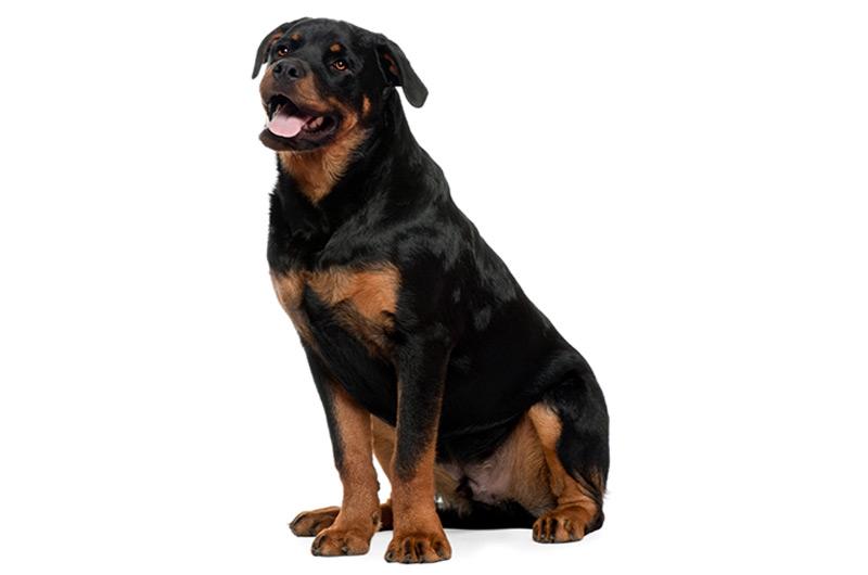 Rottweiler Gifts Accessories Up To 50 Off Top Pet Gifts