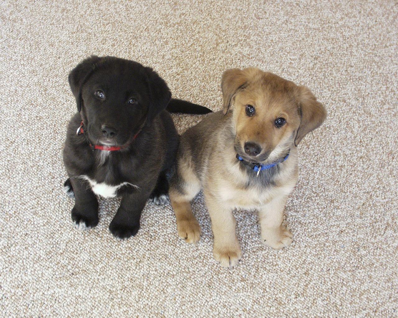 labrador-puppies
